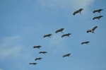 Sandhill Cranes 1 - In Flight