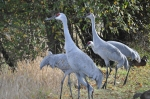 Sandhill Cranes 2 - Trail Side